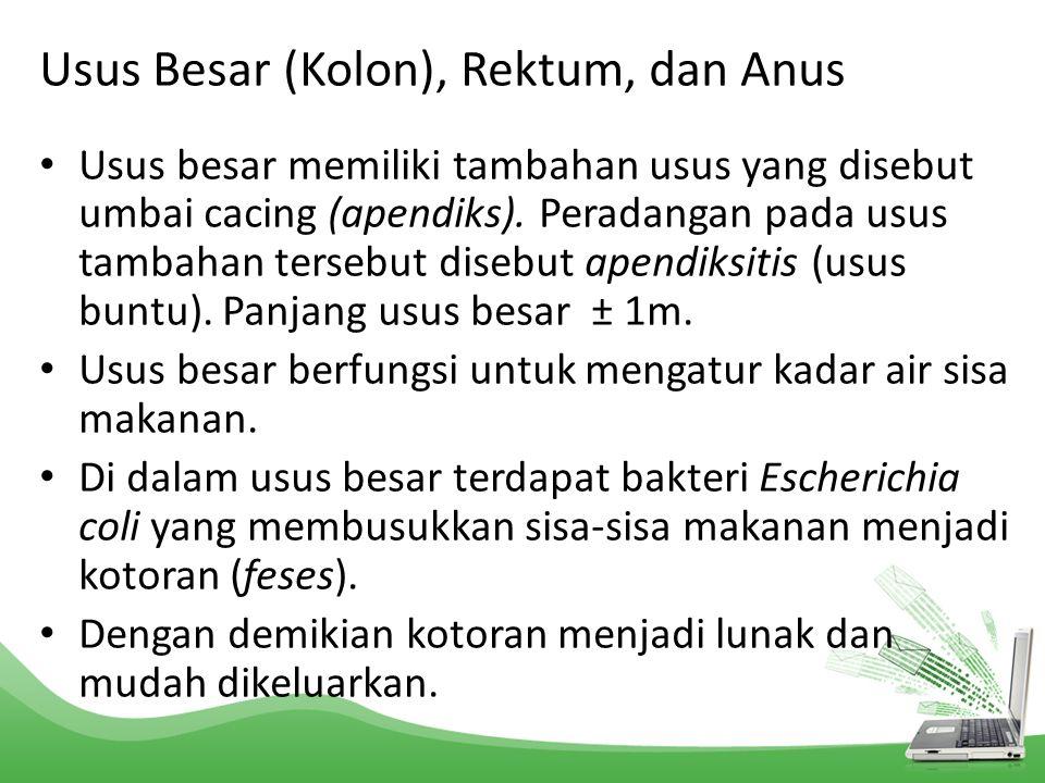 Usus Besar (Kolon), Rektum, dan Anus Usus besar memiliki tambahan usus yang disebut umbai cacing (apendiks). Peradangan pada usus tambahan tersebut di