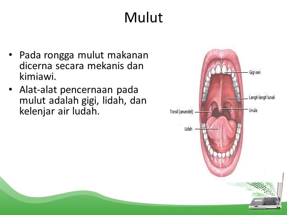 Mulut Pada rongga mulut makanan dicerna secara mekanis dan kimiawi. Alat-alat pencernaan pada mulut adalah gigi, lidah, dan kelenjar air ludah.