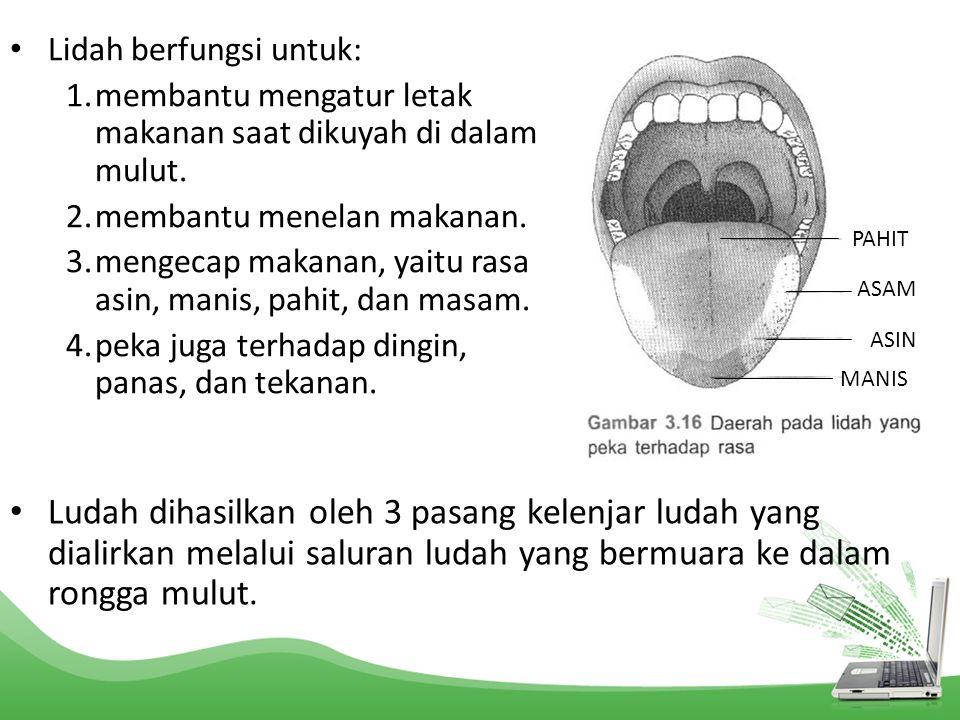 Lidah berfungsi untuk: 1.membantu mengatur letak makanan saat dikuyah di dalam mulut. 2.membantu menelan makanan. 3.mengecap makanan, yaitu rasa asin,