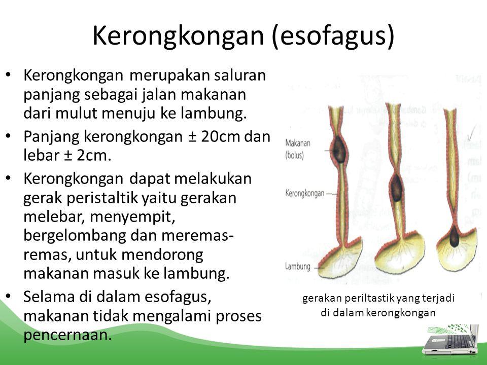 Kerongkongan (esofagus) Kerongkongan merupakan saluran panjang sebagai jalan makanan dari mulut menuju ke lambung. Panjang kerongkongan ± 20cm dan leb