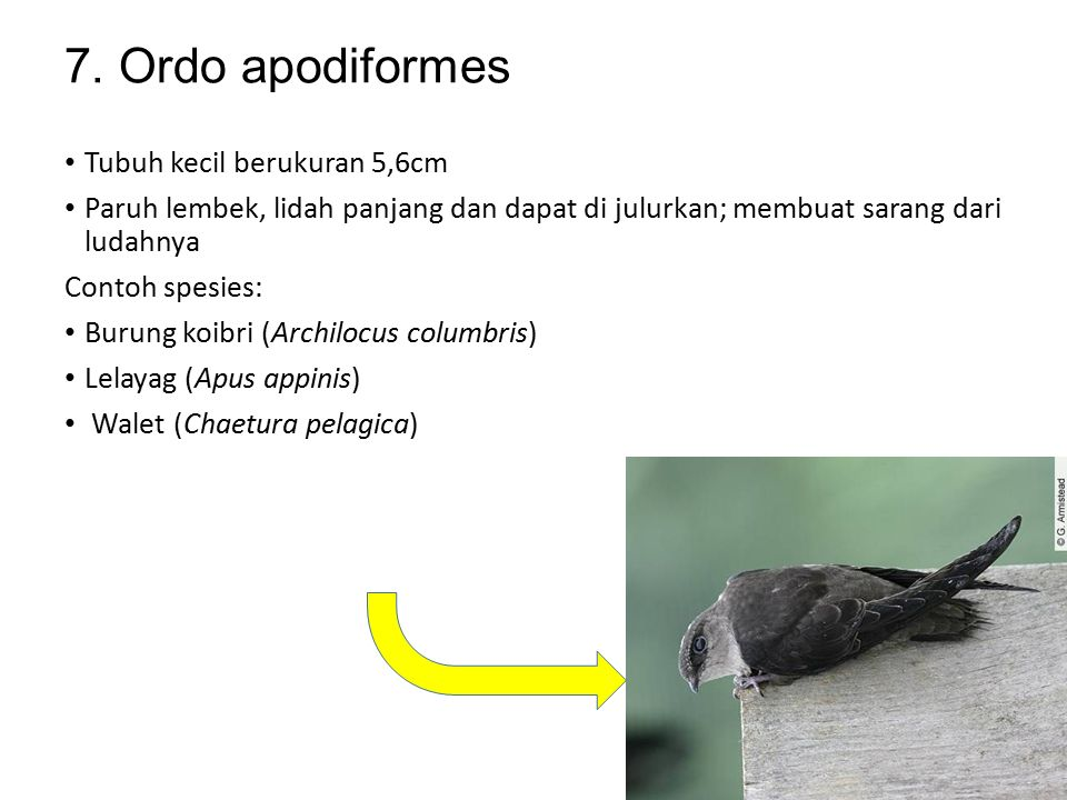 6. Ordo columbiformes Paruh pendek dengan sora di pangkalnya Tembolok besar, sel eptelnya mudah mengelupas dan di berika pada anaknya sewakru masih ke