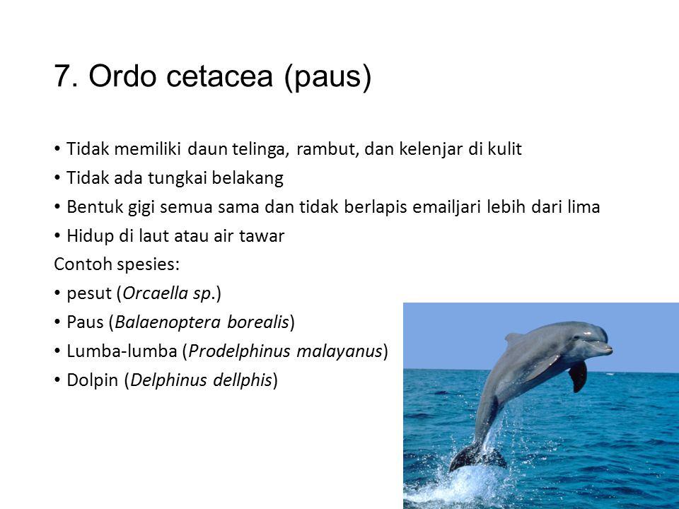 6. Ordo sirenia (sapi laut) Tidak memiliki daun telinga dan tungkai belakang Kulit tebal dengan sedikit rambut Contoh spesies: Sapi laut (Trichaonus)