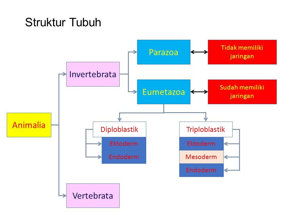 Struktur Tubuh Animalia Vertebrata Invertebrata Parazoa Eumetazoa Tidak memiliki jaringan Sudah memiliki jaringan DiploblastikTriploblastik Ektoderm Endoderm Ektoderm Mesoderm Endoderm