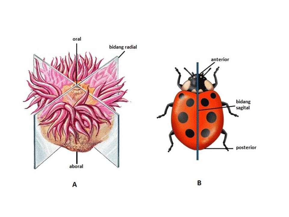 Daur Hidup Cacing Tambang (Ancylostoma duodenale & Necator americanus)