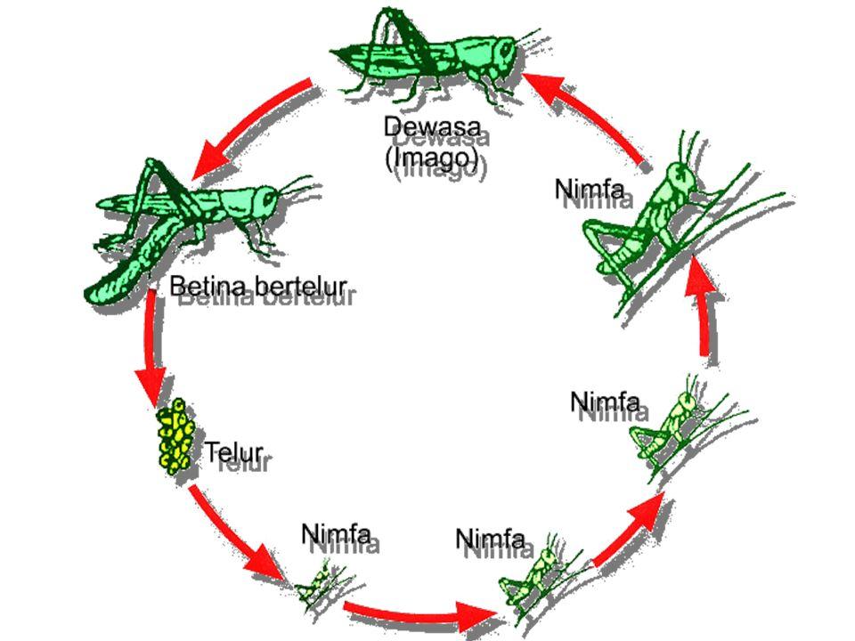 Abdomen, terdiri dari 10, atau 11 segmen Reproduksi: berkelamin terpisah, pembuahan terjadi di dalam tubuh induk betina.