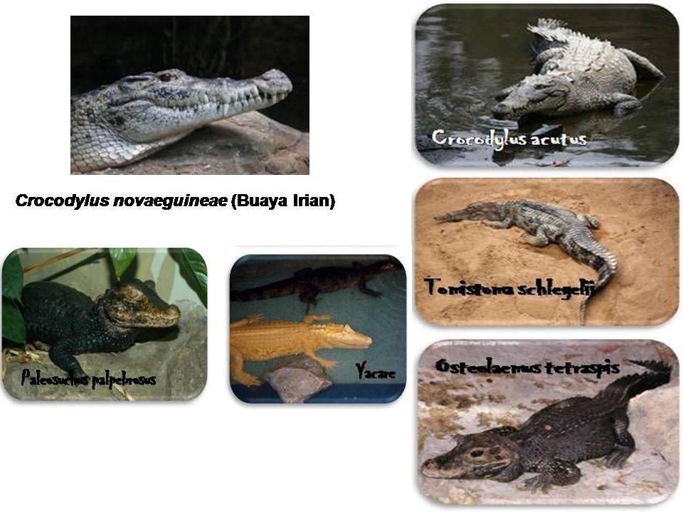 3. Ordo crocodilia Karakteristik: Berkulit tebal dan lidah tak dapat di julurkan Tidak mempunyai kandung kemih Di pangkal lidah terdapat lipatan trans