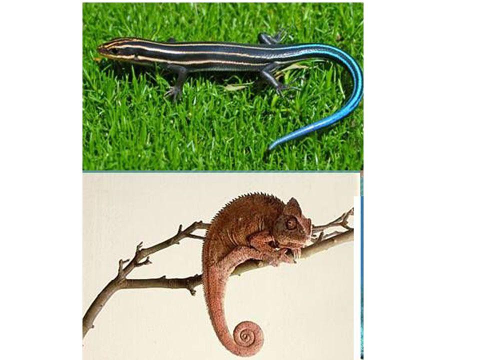 1) Lacertilia Karakteristik: Gigi melekat pada rahang, lidah dapat di julurkan Kelopak mata dapat di pejamkan Contoh spesies: Kadal indonesia (Mabuya multifasciata) Cicak (Hemidactilus prenatus) Komodo (Varanus comodoesis) Biawak (Varanus salvator) Bunglon (Chameleon chameleochameleo)