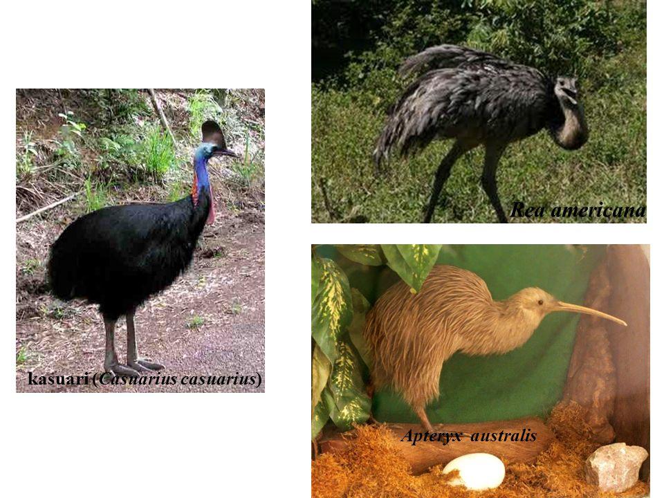 2. Ordo ratites Meliputi ordo burung yang tidak bisa terbang, yaitu: Struthioniformes; burung unta (Struthio camelus) di afrika Casuariiformes; kasuar