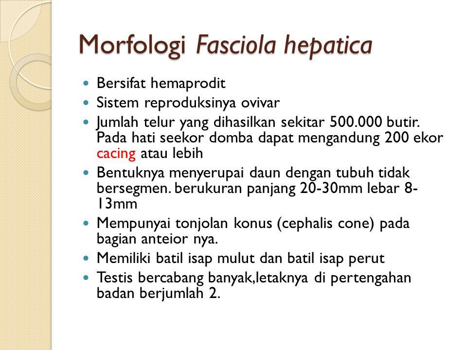 Morfologi Fasciola hepatica Bersifat hemaprodit Sistem reproduksinya ovivar Jumlah telur yang dihasilkan sekitar 500.000 butir.