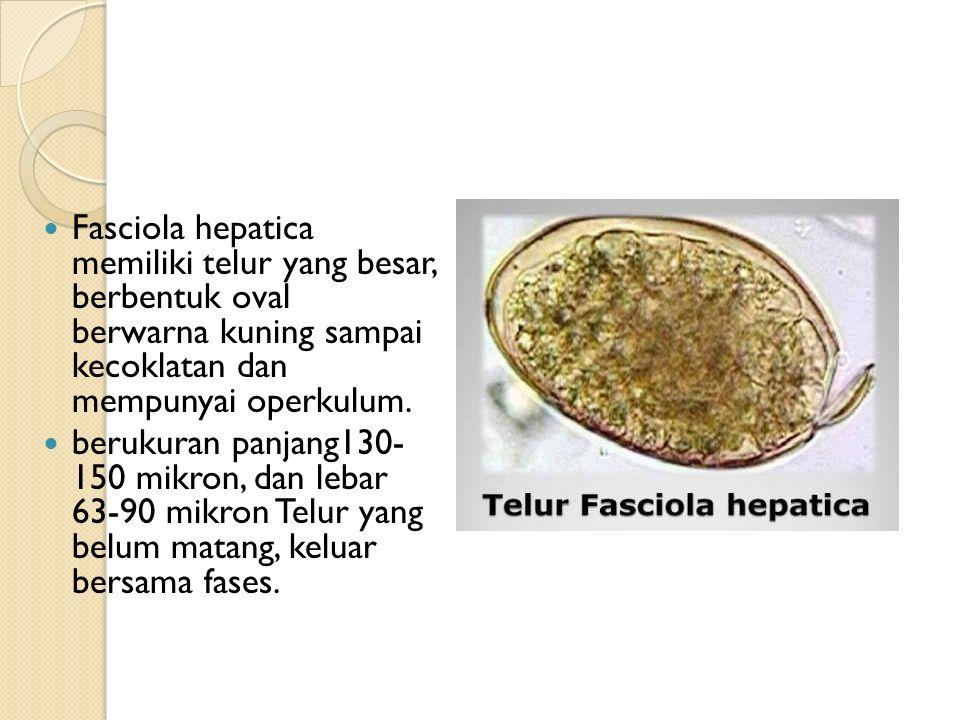 Fasciola hepatica memiliki telur yang besar, berbentuk oval berwarna kuning sampai kecoklatan dan mempunyai operkulum.