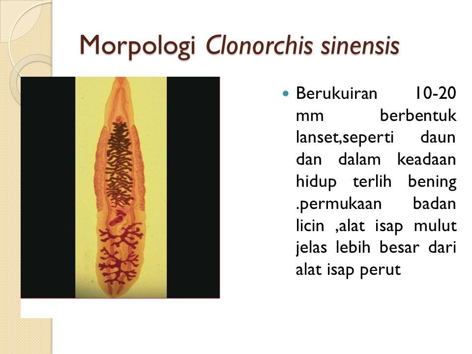 Morpologi Clonorchis sinensis Berukuiran 10-20 mm berbentuk lanset,seperti daun dan dalam keadaan hidup terlih bening.permukaan badan licin,alat isap mulut jelas lebih besar dari alat isap perut