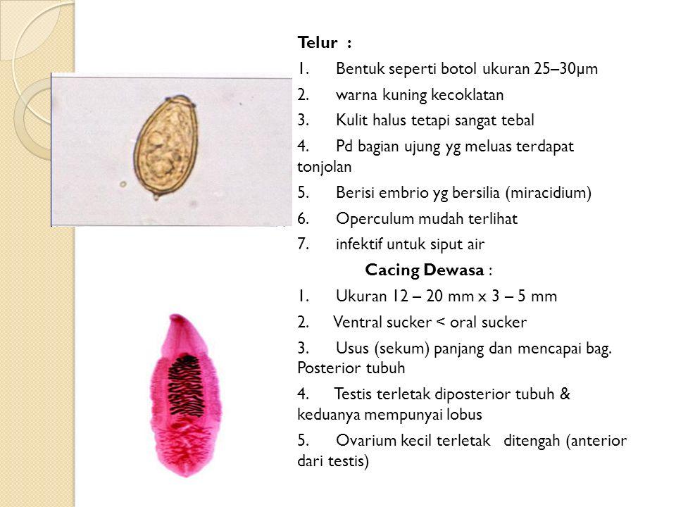 Telur : 1.Bentuk seperti botol ukuran 25–30µm 2. warna kuning kecoklatan 3.
