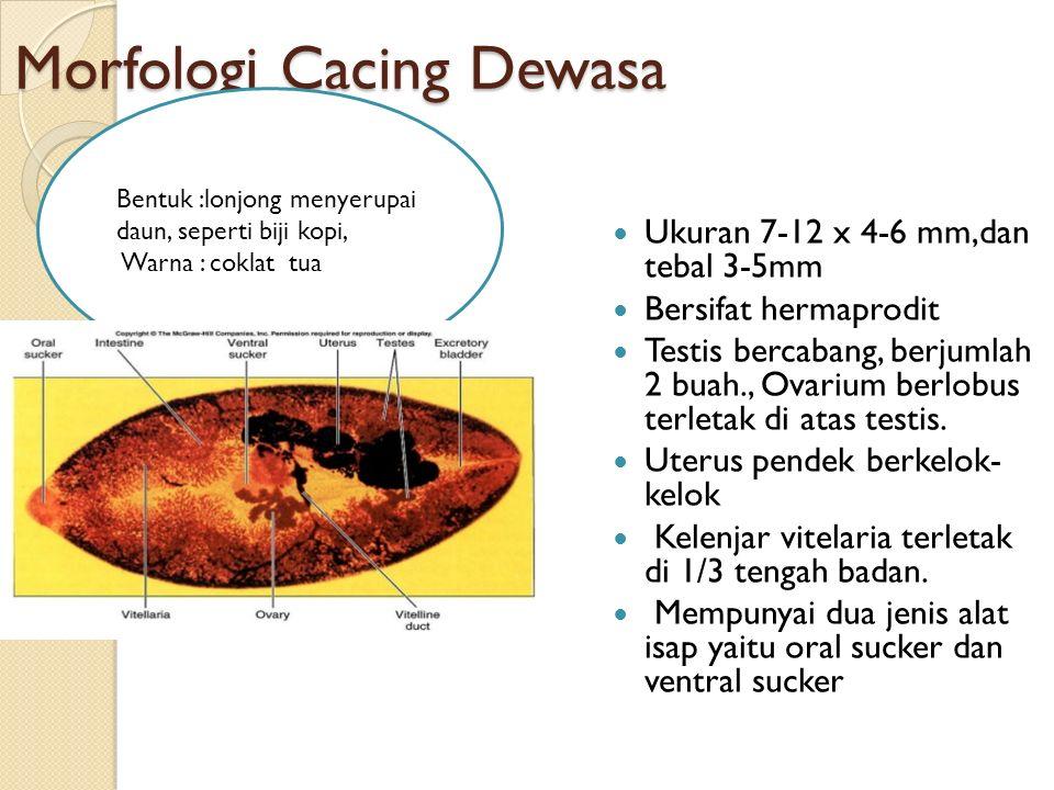 Morfologi Cacing Dewasa Ukuran 7-12 x 4-6 mm,dan tebal 3-5mm Bersifat hermaprodit Testis bercabang, berjumlah 2 buah., Ovarium berlobus terletak di atas testis.
