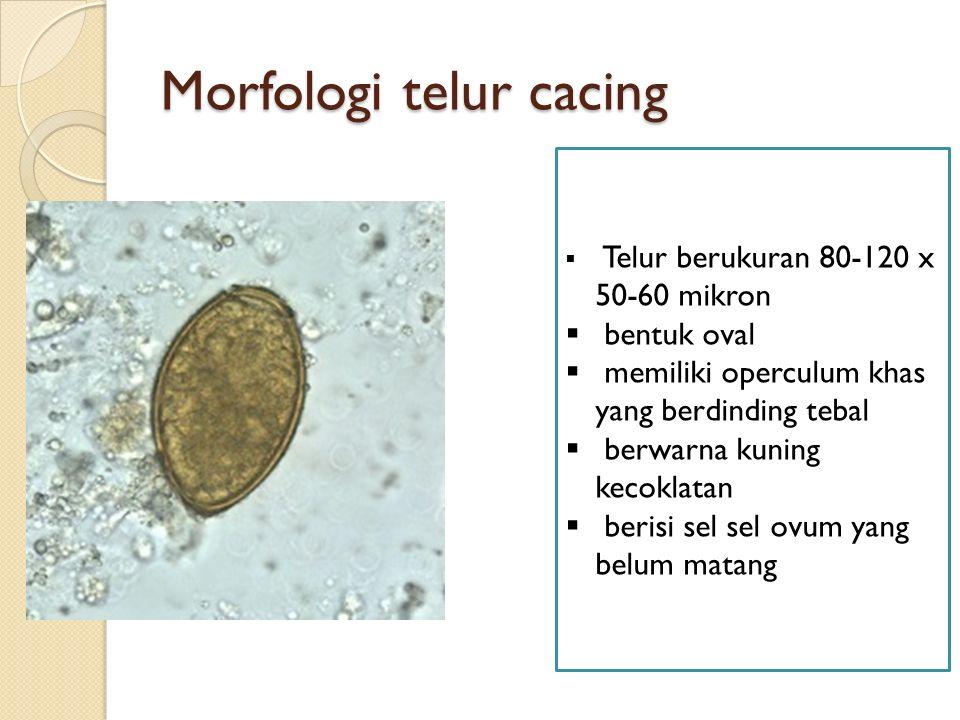 Morfologi telur cacing  Telur berukuran 80-120 x 50-60 mikron  bentuk oval  memiliki operculum khas yang berdinding tebal  berwarna kuning kecoklatan  berisi sel sel ovum yang belum matang