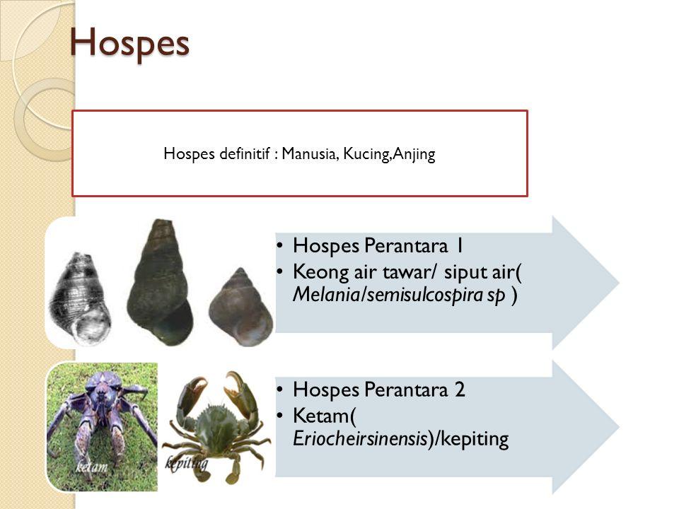 Hospes Hospes Perantara 1 Keong air tawar/ siput air( Melania/semisulcospira sp ) Hospes Perantara 2 Ketam( Eriocheirsinensis)/kepiting Hospes definitif : Manusia, Kucing,Anjing