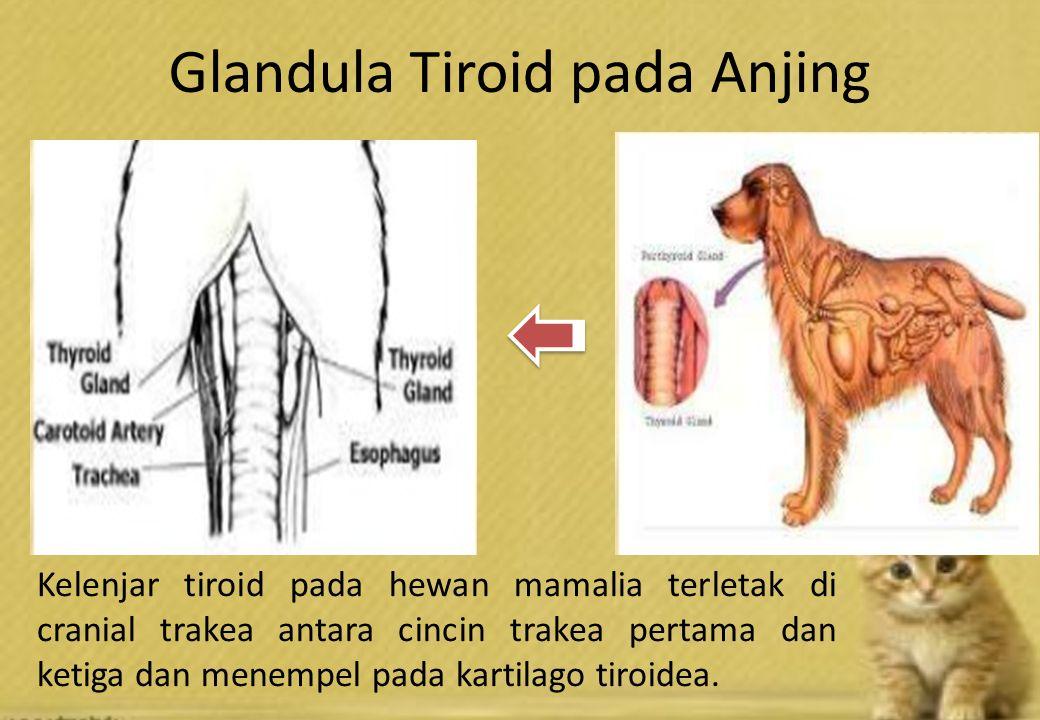 Glandula Tiroid pada Anjing Kelenjar tiroid pada hewan mamalia terletak di cranial trakea antara cincin trakea pertama dan ketiga dan menempel pada kartilago tiroidea.