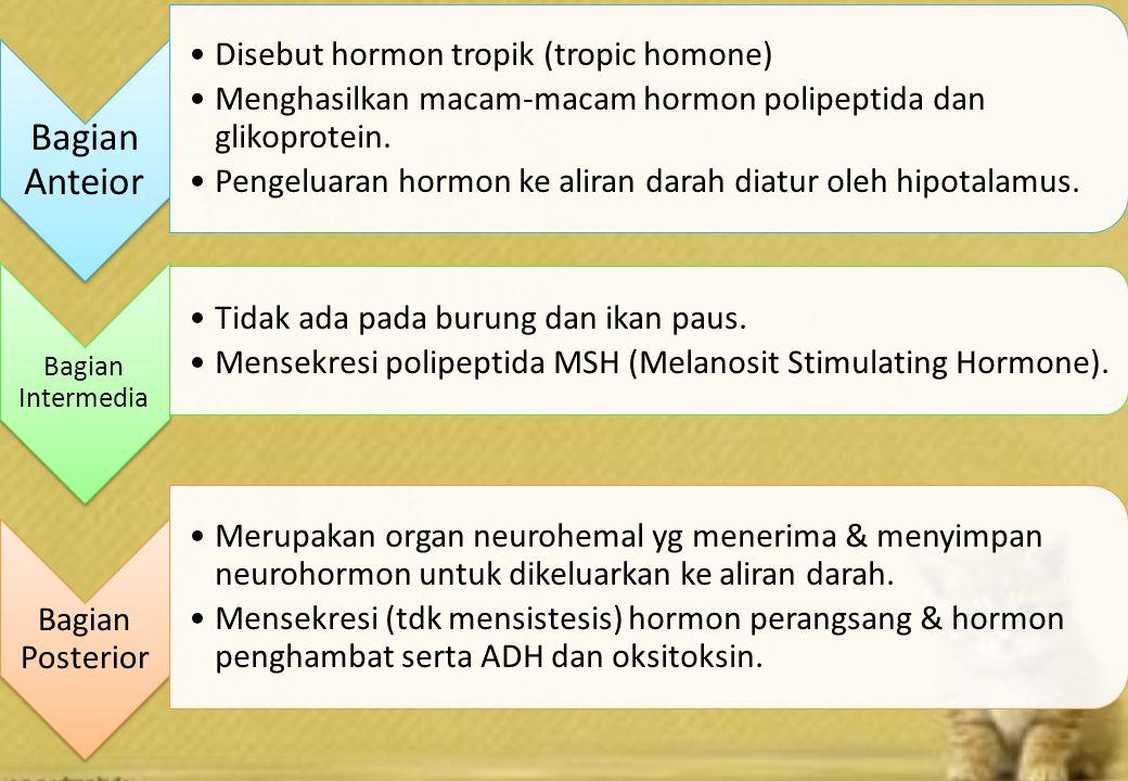 Bagian Anteior Disebut hormon tropik (tropic homone) Menghasilkan macam-macam hormon polipeptida dan glikoprotein.