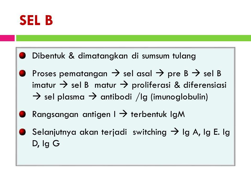 SEL B Dibentuk & dimatangkan di sumsum tulang Proses pematangan  sel asal  pre B  sel B imatur  sel B matur  proliferasi & diferensiasi  sel plasma  antibodi /Ig (imunoglobulin) Rangsangan antigen I  terbentuk IgM Selanjutnya akan terjadi switching  Ig A, Ig E.