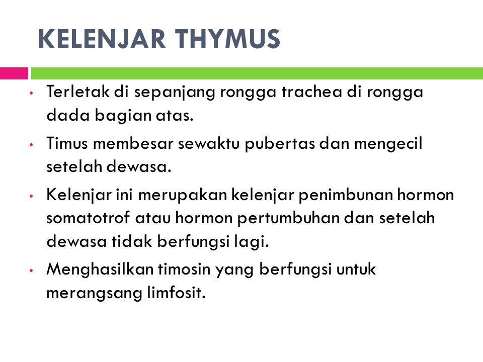 KELENJAR THYMUS Terletak di sepanjang rongga trachea di rongga dada bagian atas.