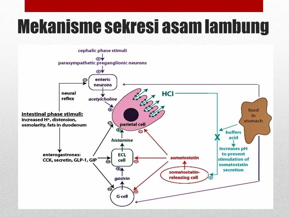 Fisiologi Lambung terdiri dari 3 daerah : Cardia : titik pertemuan antara esofagus dan lambung, bertanggung jawab dalam sekresi mukus yang melindungi terhadap lingkungan asam Body stomach : 80-90% luas permukaan, terdiri dari sel parietal yang bertanggung jawab terhadap asam lambung & sekresi faktor instrinsik.