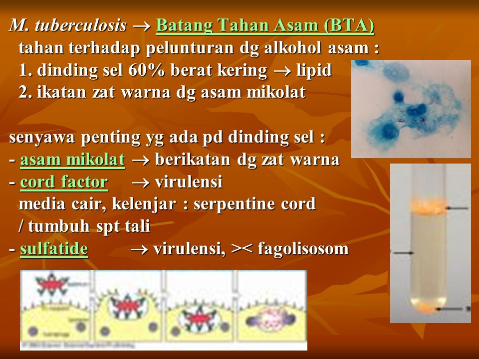 M. tuberculosis  Batang Tahan Asam (BTA) tahan terhadap pelunturan dg alkohol asam : 1.