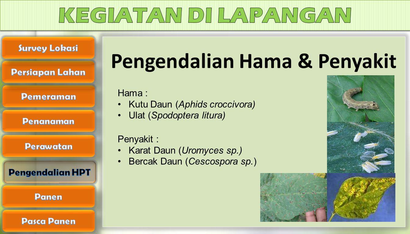 Pengendalian Hama & Penyakit Hama : Kutu Daun (Aphids croccivora) Ulat (Spodoptera litura) Penyakit : Karat Daun (Uromyces sp.) Bercak Daun (Cescospor