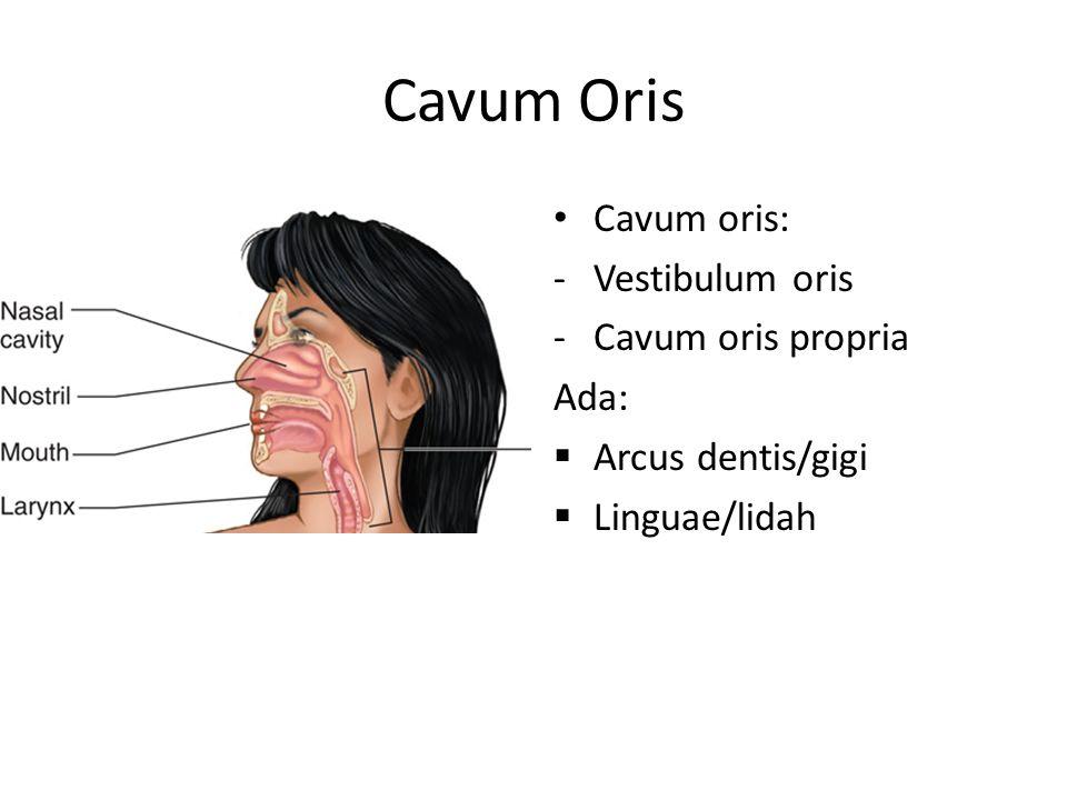 Cavum Oris Cavum oris: -Vestibulum oris -Cavum oris propria Ada:  Arcus dentis/gigi  Linguae/lidah