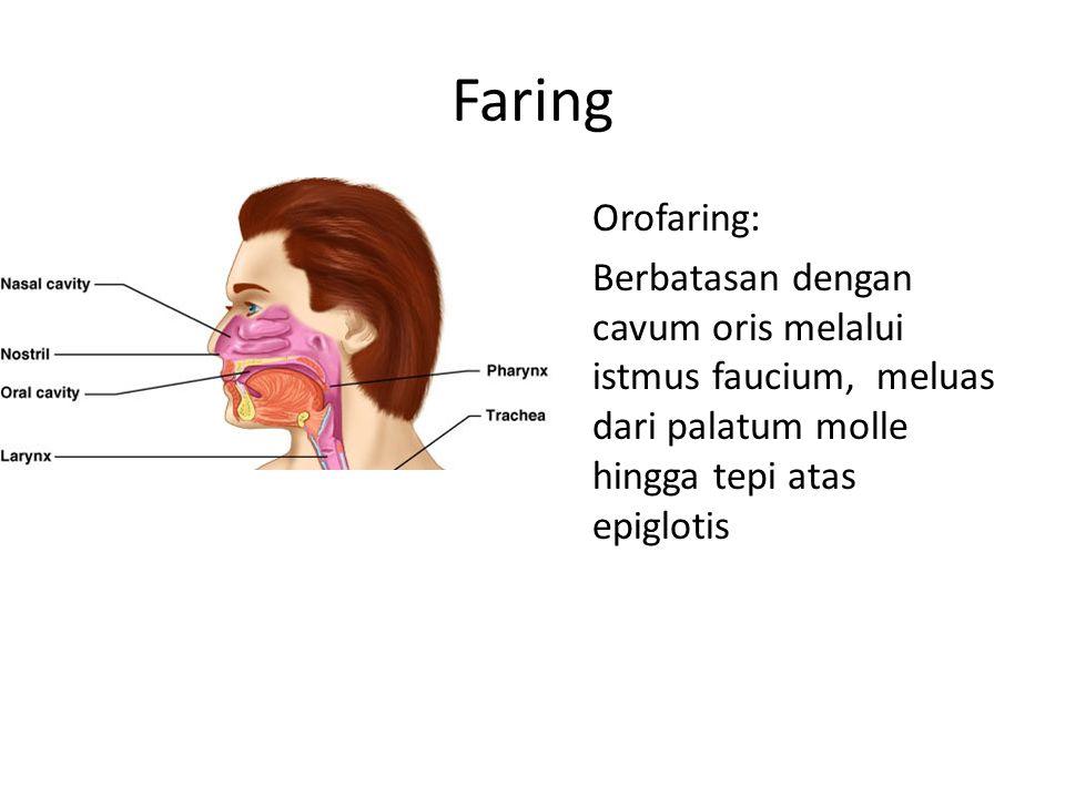 Faring Orofaring: Berbatasan dengan cavum oris melalui istmus faucium, meluas dari palatum molle hingga tepi atas epiglotis