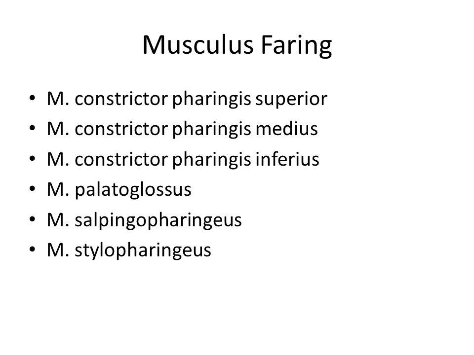 Musculus Faring M. constrictor pharingis superior M. constrictor pharingis medius M. constrictor pharingis inferius M. palatoglossus M. salpingopharin