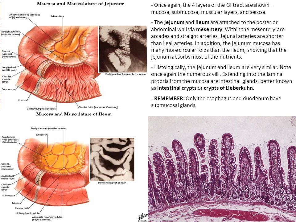 - Once again, the 4 layers of the GI tract are shown – mucosa, submucosa, muscular layers, and serosa.