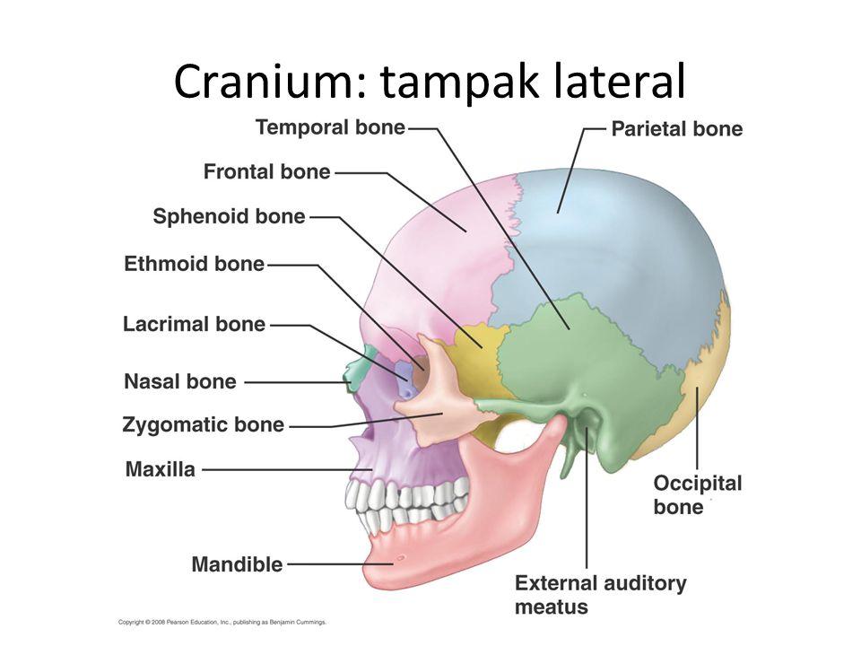 Cranium: tampak lateral