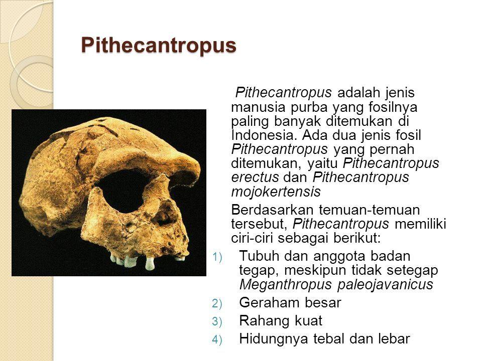 Pithecantropus Pithecantropus adalah jenis manusia purba yang fosilnya paling banyak ditemukan di Indonesia.