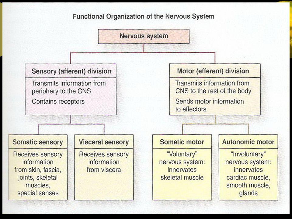 Jaringan Saraf : - Sel – sel saraf (Neuron) - Neuroglia Matrix jaringan ikat di mana sel – sel saraf terbenam di dalamnya.