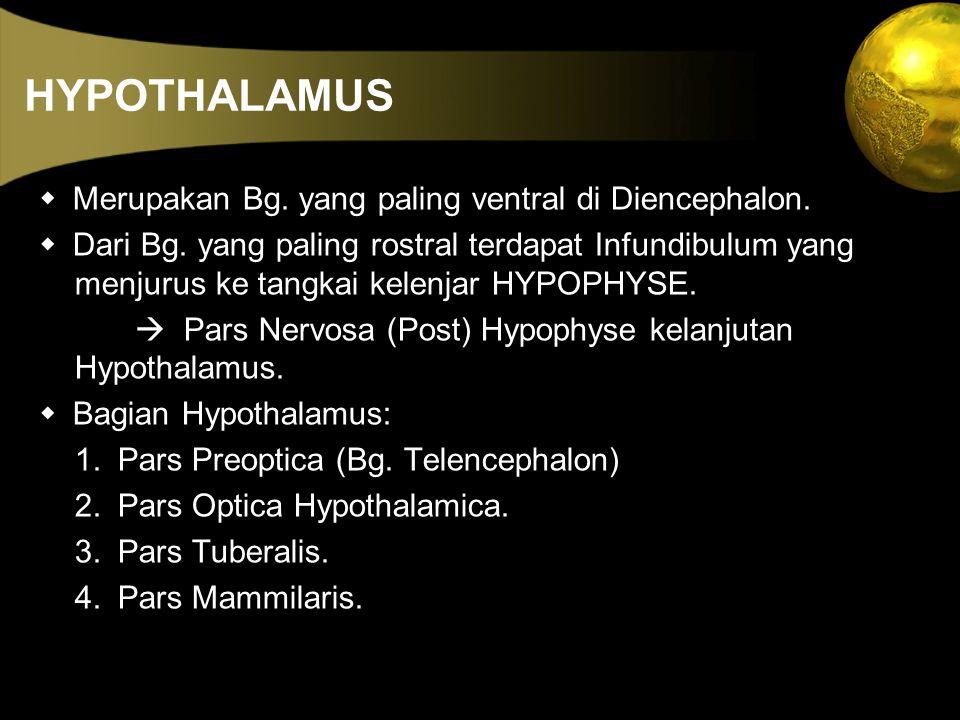 HYPOTHALAMUS  Merupakan Bg. yang paling ventral di Diencephalon.  Dari Bg. yang paling rostral terdapat Infundibulum yang menjurus ke tangkai kelenj
