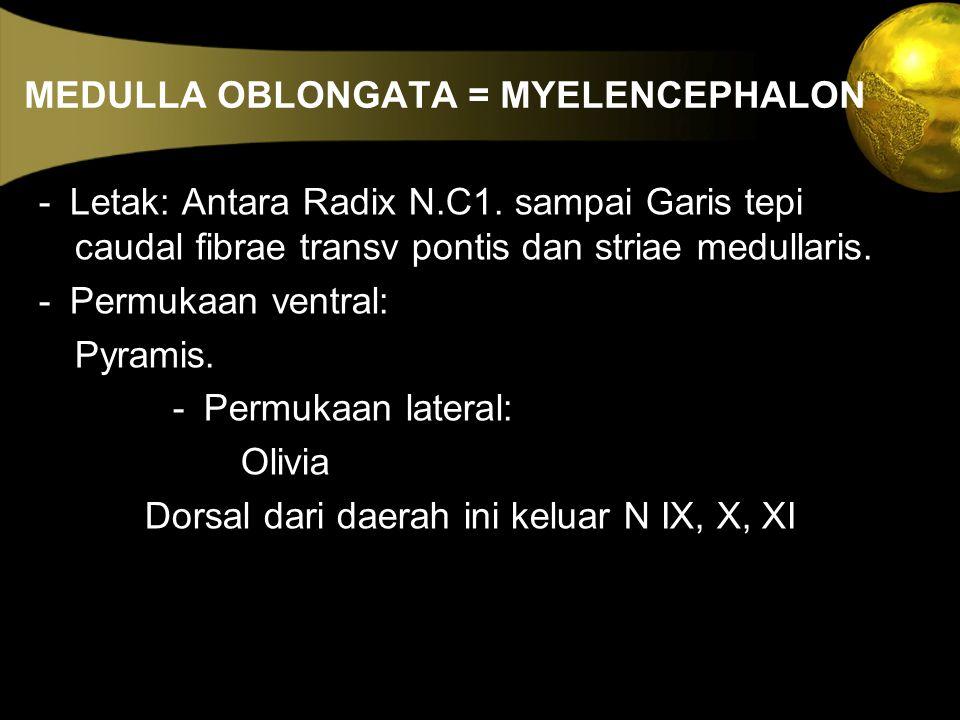 MEDULLA OBLONGATA = MYELENCEPHALON - Letak: Antara Radix N.C1. sampai Garis tepi caudal fibrae transv pontis dan striae medullaris. - Permukaan ventra