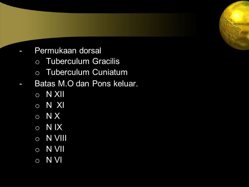 - Permukaan dorsal o Tuberculum Gracilis o Tuberculum Cuniatum - Batas M.O dan Pons keluar. o N XII o N XI o N X o N IX o N VIII o N VII o N VI