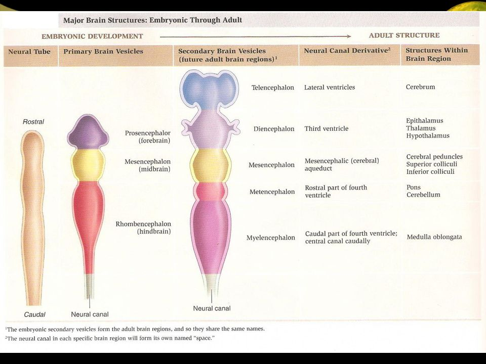 TELENSEFALON = HEMISTER SEREBRUM TELENCEPHALON : - Membentuk hemispher cerebrum ki & ka, pada masing-masing ventrikel lateral.