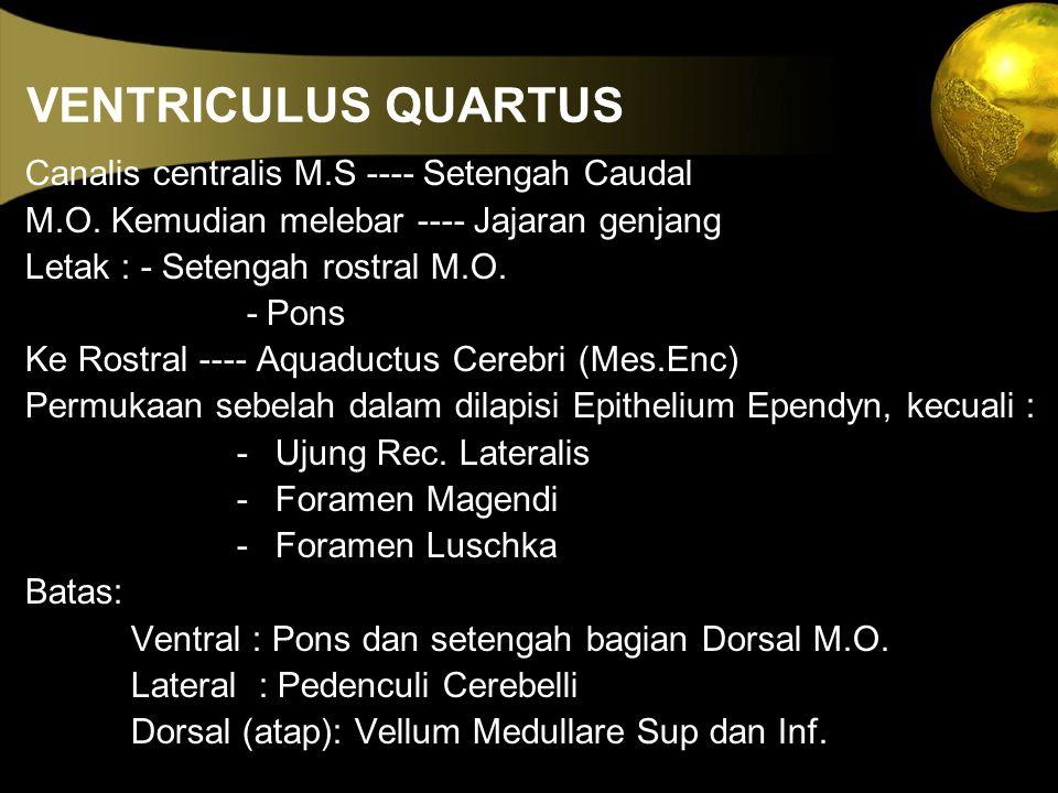 VENTRICULUS QUARTUS Canalis centralis M.S ---- Setengah Caudal M.O. Kemudian melebar ---- Jajaran genjang Letak : - Setengah rostral M.O. - Pons Ke Ro