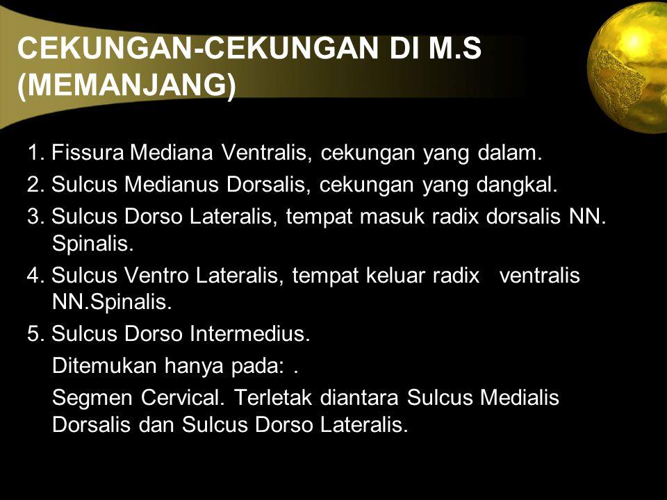 CEKUNGAN-CEKUNGAN DI M.S (MEMANJANG) 1. Fissura Mediana Ventralis, cekungan yang dalam. 2. Sulcus Medianus Dorsalis, cekungan yang dangkal. 3. Sulcus
