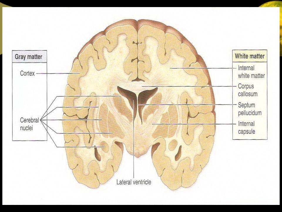 CORTEX CEREBRI Permukaan hemisfer serebri (cortex cerebri), mengandung : - Susunan Lekuk (Fisura & Sulkus) - Susunan Lipatan (Girus) Yang terdapat diantara Sulcus Fisura : - Lebih dalam dari Sulcus - Memisahkan bagian-bagian yang penting - Seringkali merupakan area fungsional Sulcus : - Dangkal dari Fissura