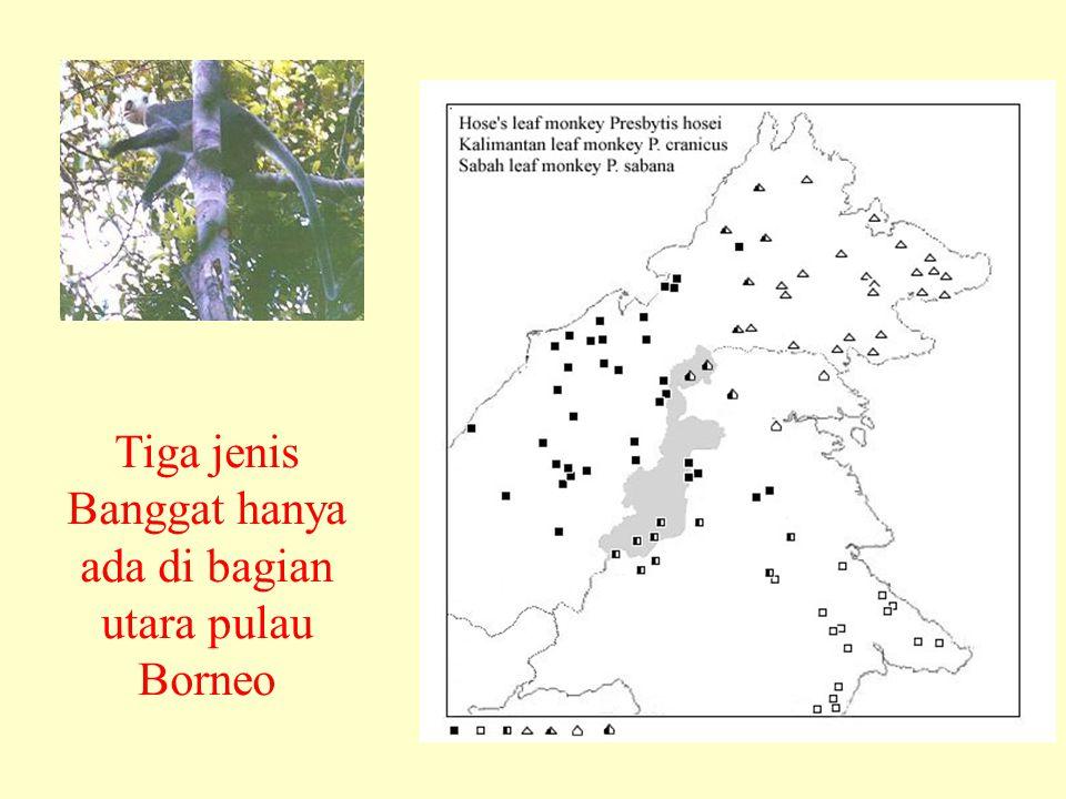 Tiga jenis Banggat hanya ada di bagian utara pulau Borneo