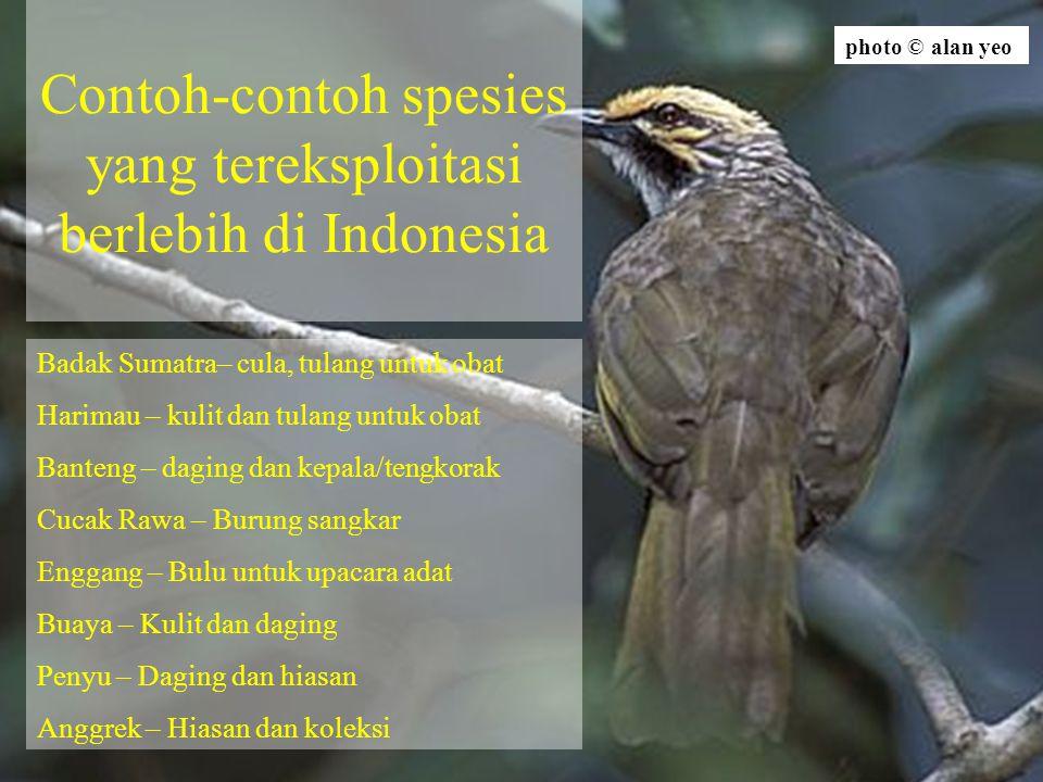 Contoh-contoh spesies yang tereksploitasi berlebih di Indonesia Badak Sumatra– cula, tulang untuk obat Harimau – kulit dan tulang untuk obat Banteng –