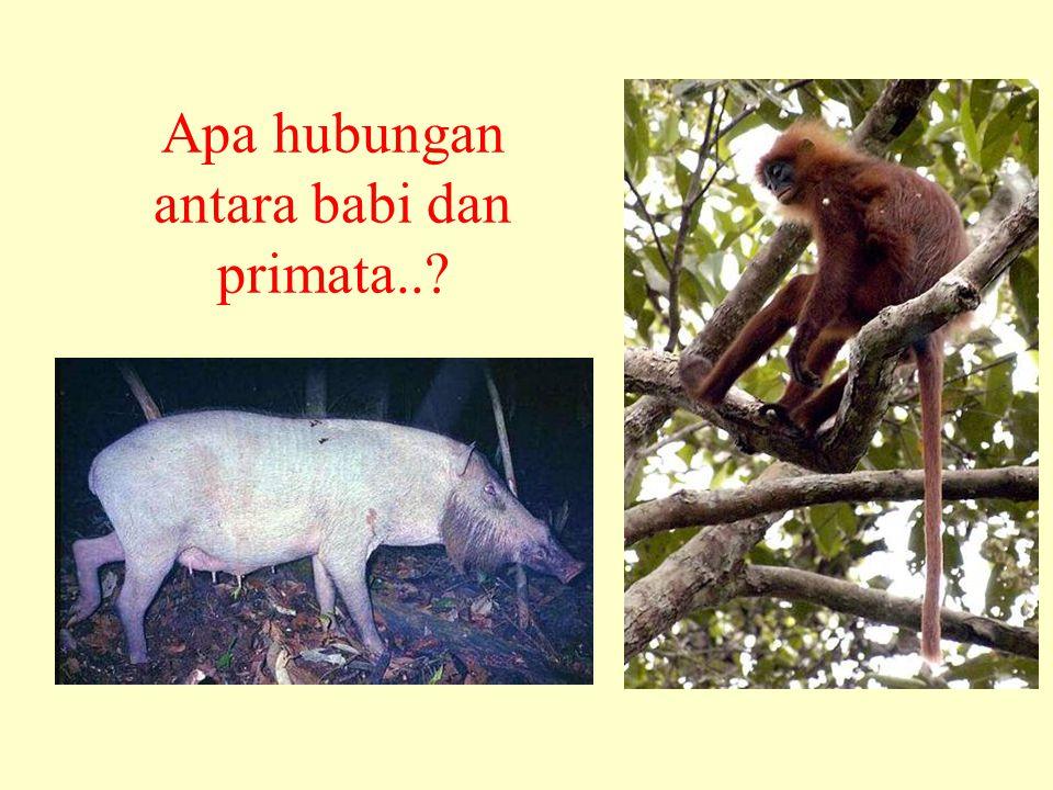 Apa hubungan antara babi dan primata..