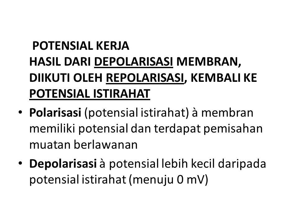 POTENSIAL KERJA HASIL DARI DEPOLARISASI MEMBRAN, DIIKUTI OLEH REPOLARISASI, KEMBALI KE POTENSIAL ISTIRAHAT • Polarisasi (potensial istirahat) à membra