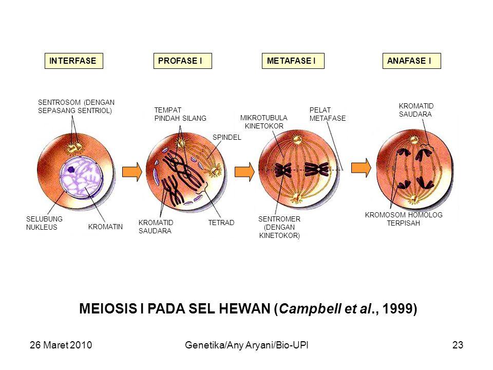 26 Maret 2010Genetika/Any Aryani/Bio-UPI23 MEIOSIS I PADA SEL HEWAN (Campbell et al., 1999) INTERFASEPROFASE IMETAFASE IANAFASE I SENTROSOM (DENGAN SEPASANG SENTRIOL) SELUBUNG NUKLEUS KROMATIN TETRAD SPINDEL KROMATID SAUDARA TEMPAT PINDAH SILANG KROMOSOM HOMOLOG TERPISAH KROMATID SAUDARA PELAT METAFASE SENTROMER (DENGAN KINETOKOR) MIKROTUBULA KINETOKOR