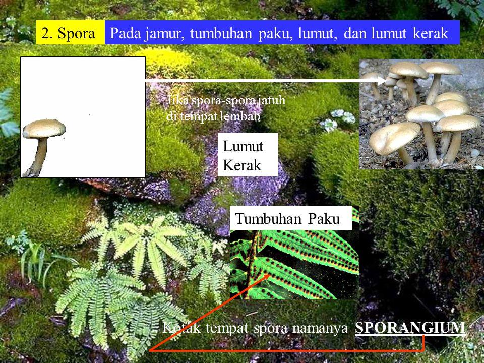 Vegetatif Alami 1. Membelah diri Umumnya pada tumbuhan satu sel. Misalnya bakteri dan ganggang hijau Proses membelah diri pada bakteri Bakteri Kolera