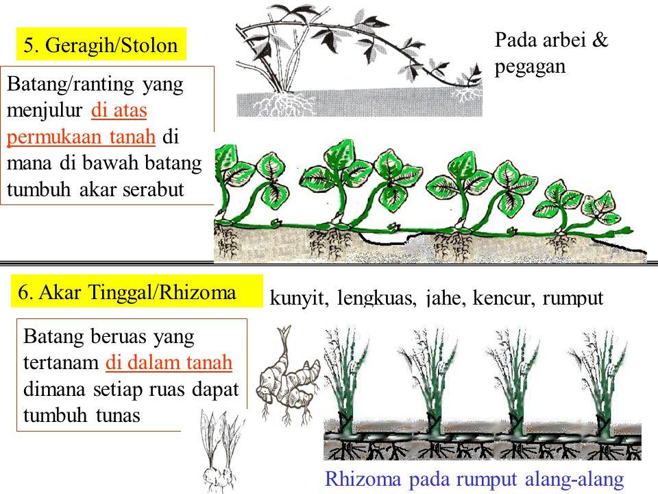 Bagian tanaman yang menggembung di dalam tanah 4. Umbi 1. Umbi Batang 2. Umbi Lapis 3. Umbi Akar