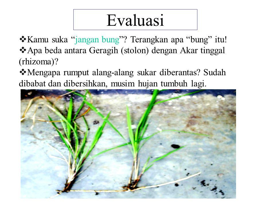 5. Geragih/Stolon 6. Akar Tinggal/Rhizoma Batang/ranting yang menjulur di atas permukaan tanah di mana di bawah batang tumbuh akar serabut Batang beru