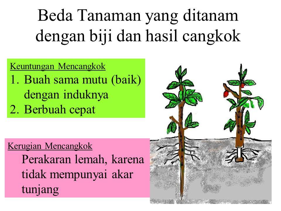 2. Cangkok 3. Merunduk Umumnya pada tanaman bunga-bungaan agar diperoleh bibit banyak secara cepat Sumber : Erlangga