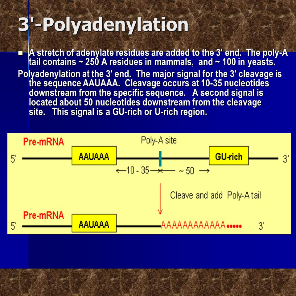 3'-Polyadenylation  A stretch of adenylate residues are added to the 3' end. The poly-A tail contains ~ 250 A residues in mammals, and ~ 100 in yeast
